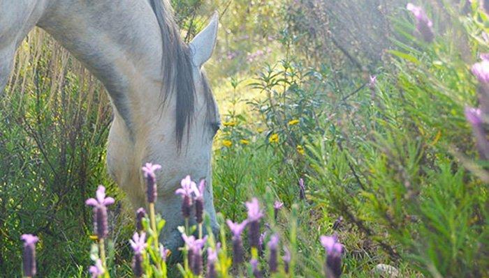 glimpse-horse-lavender