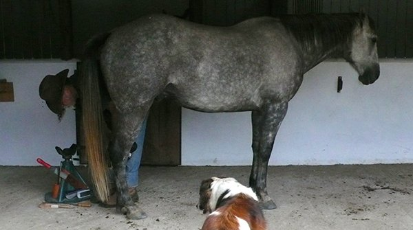 Horse stands for barefoot trim after essential oils