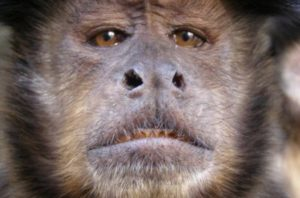 the face of a capuchin monkey waiting for essential oils