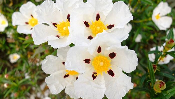 Cistus, rock rose flower