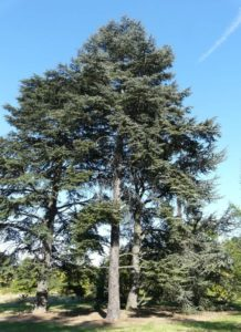 Atlas Cedar tree