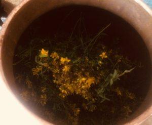 St John's wort flowers in the still