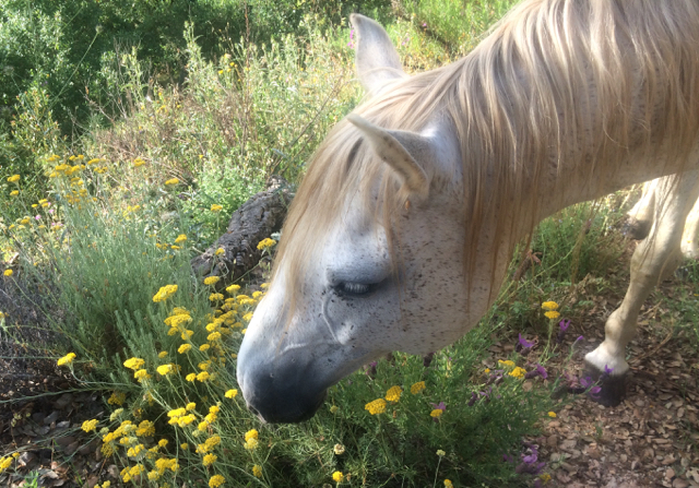 A horse smelling helichrysum plant